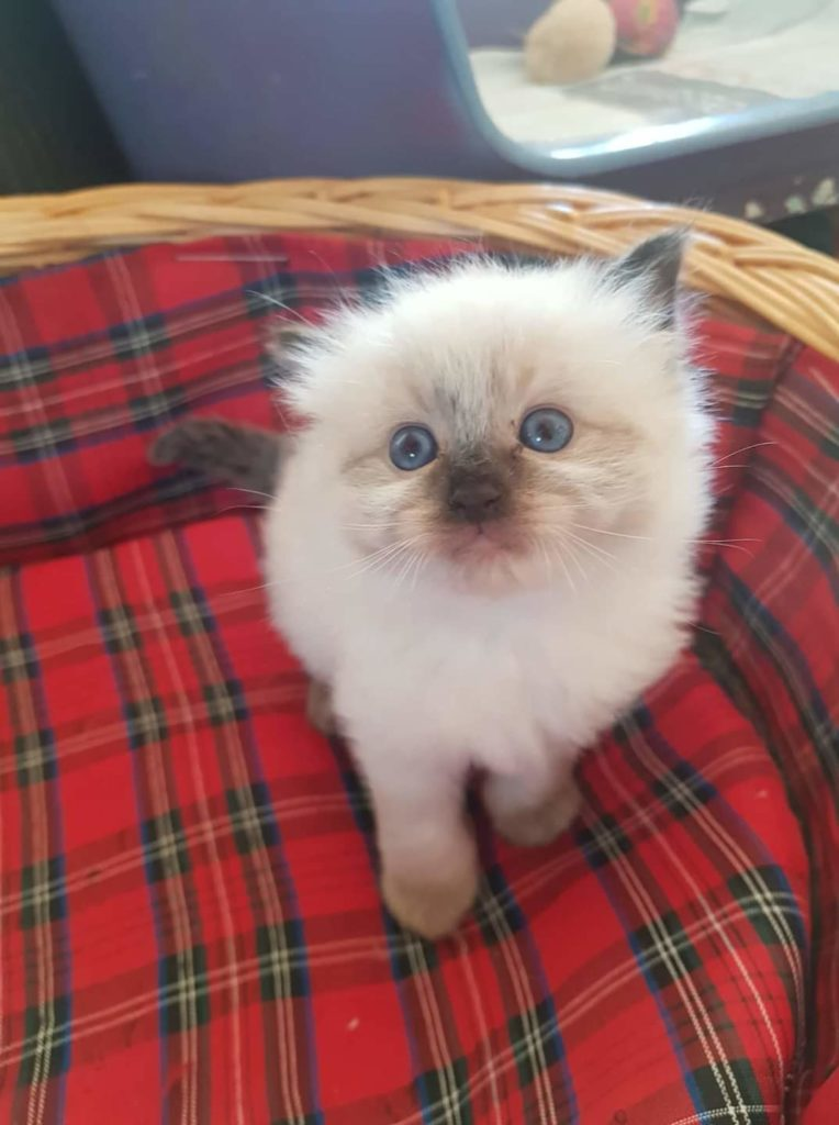 Ragdoll kitten - The Pet Hub